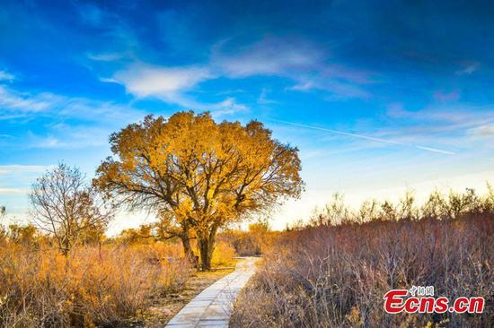 Desert poplar forest becomes tourist attraction