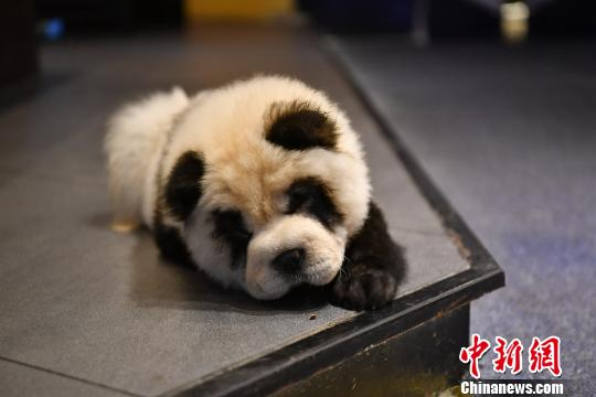 Sichuan cafe can turn your pooch into a 'panda dog'