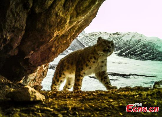 Camera captures snow leopards mating