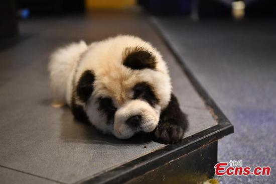 Panda-like dogs woo customers to cafe in Chengdu