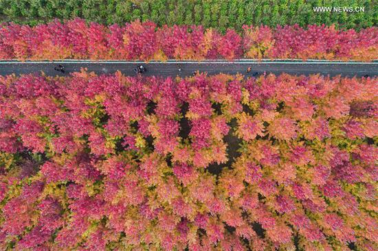 Maple trees charm tourists in Hebei