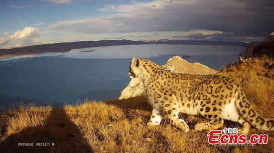 Rich data of snow leopards collected in Yellow River headwaters