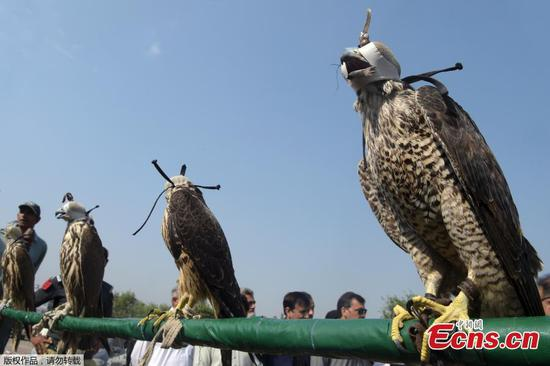 10 falcons seized from smugglers in Pakistan