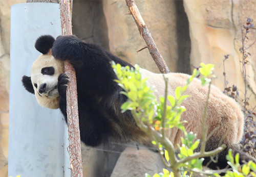 Giant panda draws visitors to zoo
