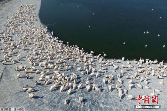 成千上万的鹈鹕在前往非洲的途中停在以色列