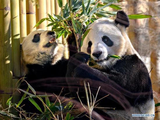 Panda cubs to move to Giant Panda Research Base in China on 2020