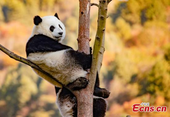 Giant pandas play in Wolong