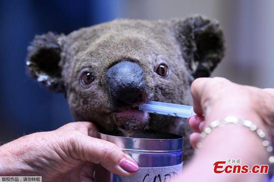 Hundreds of koalas feared burned alive in bushfire near Port Macquarie