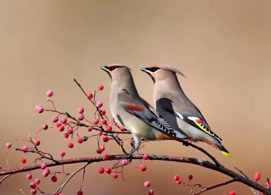 Waxwing birds warm winter days in Jilin