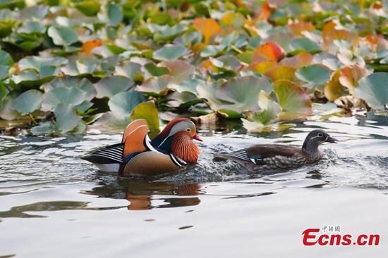 Mandarin ducks draw visitors to Beijing park