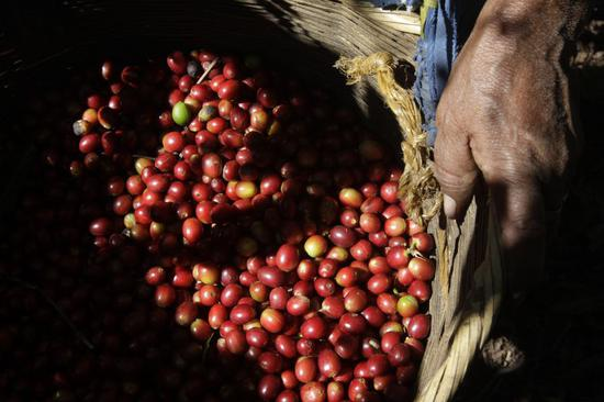Salvadoran coffee producer banking on CIIE to boost sales in China