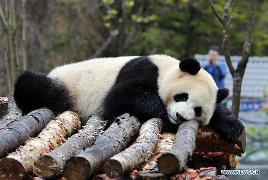 甲午海大熊猫保护研究园在水果机西南地区开业