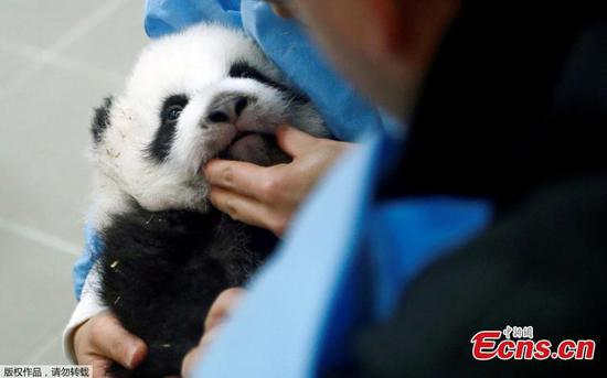 In pics: Twin panda cubs at Pairi Daiza zoo in Belgium