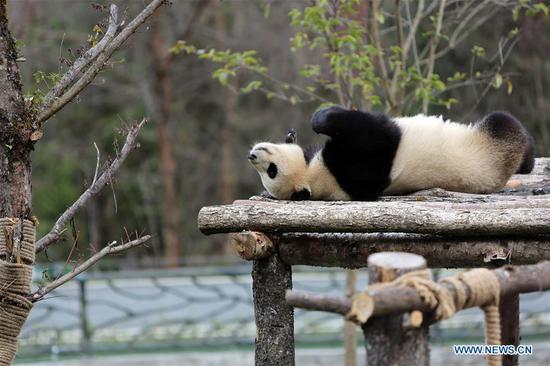 Four pandas make debut in southwest China