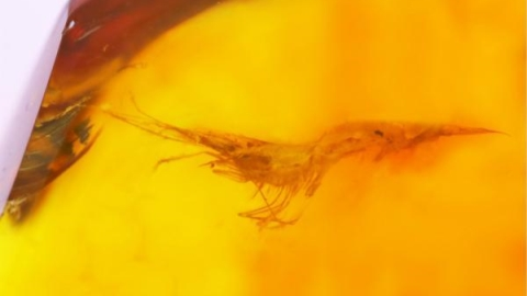 Chinese researchers identify rare amber encasing ancient shrimp