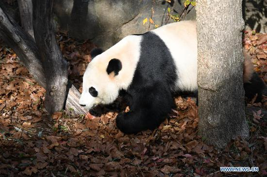 U.S. national zoo begins weeklong goodbye to giant panda