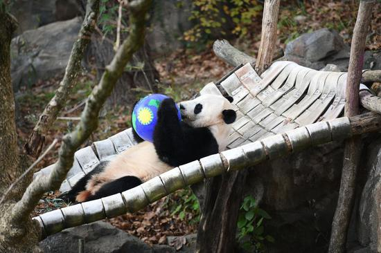 U.S. national zoo begins weeklong goodbye to giant panda Bei Bei