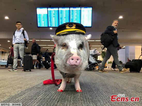 Therapy pig hogs the limelight at San Francisco airport