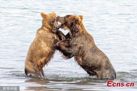 Young bears caught play-fighting in lake