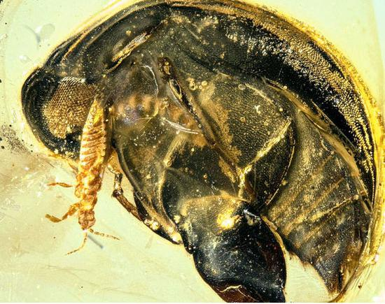Insect pollinator found in 99-mln-year amber