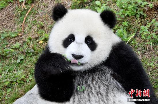 Number of captive pandas increases to 600 globally