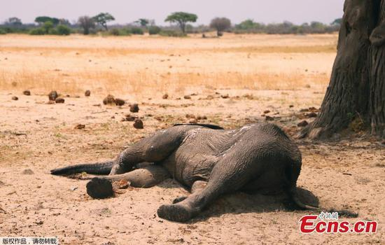 Elephant death toll in Zimbabwe rises to 200 amid severe drought