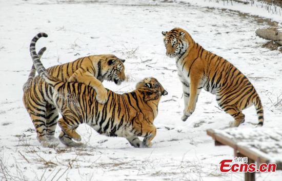 西伯利亚虎在东北中国雪地里玩耍