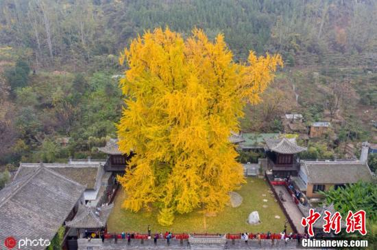 The 1,400-year-old ginkgo tree stands at the center of the courtyard of the ancient temple in Xi'an, Northwest China's Shaanxi Province. (Photo/IC)