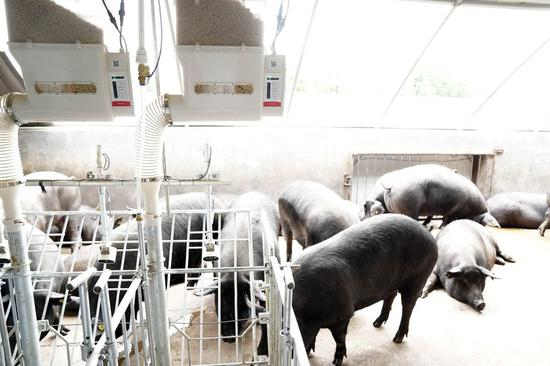 Smart tech helps whole-hog reshaping of China's pig-raising industry