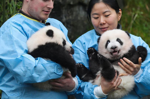 Panda twins named Bao Di and Bao Mei at Belgium zoo