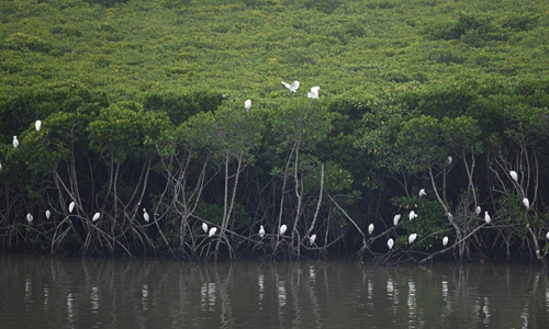 Egrets rest in mangrove forest in Dongzhaigang National Nature Reserve in south China's Hainan Province, Oct. 17, 2019. (Xinhua/Yang Guanyu)