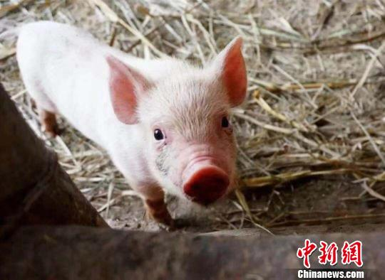 Pork prices begin to fall as stock of breeding sows grows