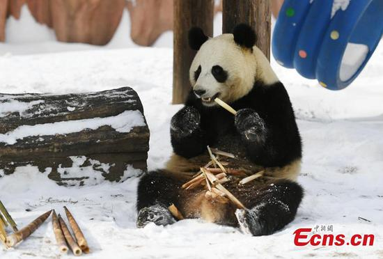 Panda enjoys the moment in snow