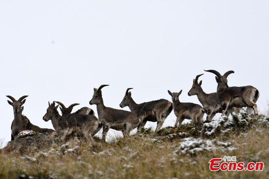 在青海省的高山中发现了Bharal