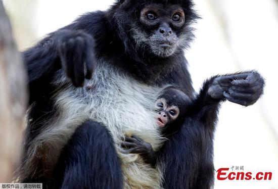 Baby spider monkey shown to the public at zoo in Czech