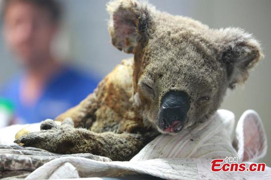 World's only hospital to treat koala in Australia