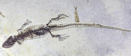 Photo taken on June 24, 2018 shows the fossil of an extinct genus of lizard dating back about 100 million years, which was found in northeast China. (Photo provided to Xinhua)