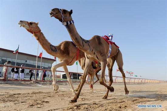 骆驼赛车锦标赛在科威特举行