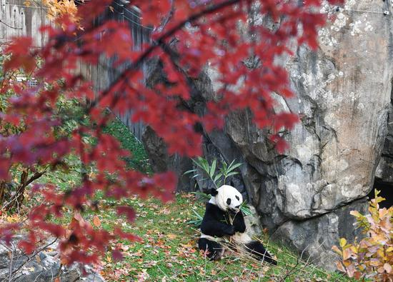 Washington's bittersweet farewell to beloved giant panda Bei Bei