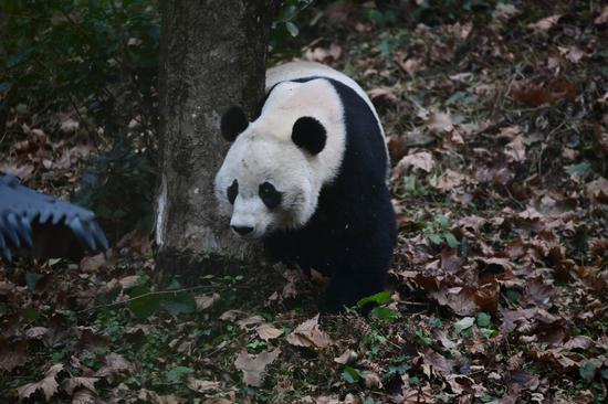 U.S.-born panda makes debut after returning to China