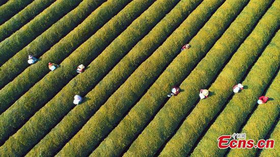 Tea plantation in Jiangxi goes eco-friendly