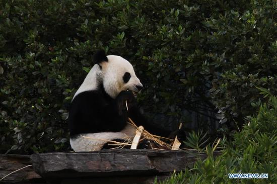 Giant pandas to stay in South Australia for 5 more years