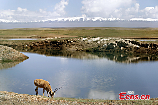 A Tibetan antelope grazes at a lake in Qinghai Province. (File photo/China News Service)