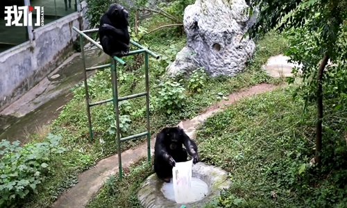 Chongqing zoo's clothes-washing chimpanzee seen as good role model for human husbands