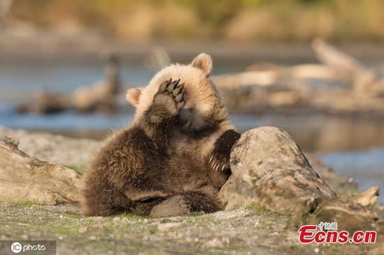 Cute bear cub captured near Kuril Lake in Russia