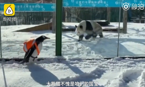 Seeing black and white: A penguin and panda meet up at the Harbin Polarland zoo in Harbin, Northeast China's Heilongjiang Province. (Photo/Screenshot from video by Pear Video)