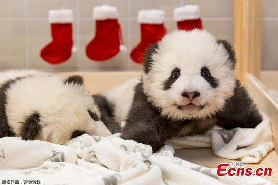 Adorable photos show twin panda cubs at Berlin zoo