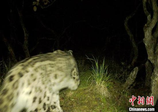 Infrared cameras have captured images and videos of a snow leopard in the Wolong National Nature Reserve. (Photo/China News Service)