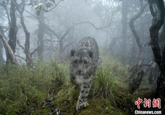 Snow leopard spotted in panda's core habitat