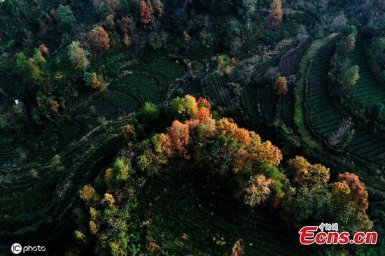 Chongqing tea garden creates stunning scene